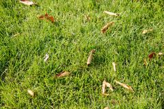 fallen leaves on a lawn - stock photo