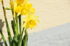 full blown narcissus flowers in a garden - stock photo