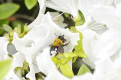 Closeup of a bee on a white azalea flower Stock Photos