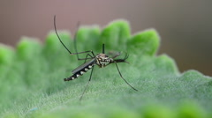 Closeup of a mosquito on a leaf Stock Footage