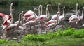 4k Flamingos group walking in a pond in sunny green nature Footage