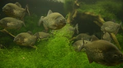 Piranhas at a zoo aquarium Stock Footage