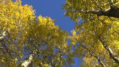 Beautiful golden autumn aspen forest and wind Stock Footage