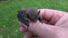 Animal bat Nathusius pipistrelle (Pipistrellus nathusii) in naturalist  hands Stock Footage