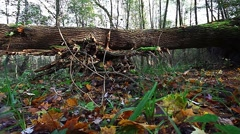 Tracking shot from a big old fallen tree on the ground in the autumn forest Stock Footage