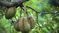 Durians hanging from tree, king of fruit in Thailand. HD. 1920x1080 Stock Footage