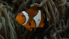 Amphiprion ocellaris, also known as the ocellaris clownfish, false percula clown Stock Footage