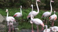 Flamingos closeup walking in pond in sunny green nature Footage