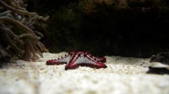 Red-knobbed starfish (Protoreaster linckii) Stock Footage