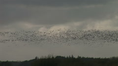 Birds black geese dark swarm together Stock Footage