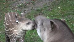 4k Tapir mother with young cute baby closeup Stock Footage
