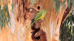 Rose-ringed parakeet parrot 2 Stock Footage