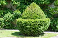 topiary acorn - stock photo
