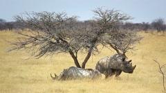 Black Rhino pair in Etosha, Namibia, Africa. Stock Footage