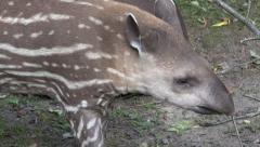 4k Young cute curious baby Tapir closeup Stock Footage