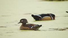 Wood Ducks,  Hen (female) calling to mate. Stock Footage