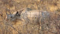 Black Rhino feeding in Etosha National Park, Namibia. Stock Footage