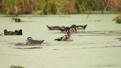 Wood Ducks (Aix sponsa) on a beaver pond in Georgia - stock footage