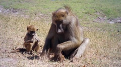 Chacma Baboon and Baby Digging Stock Footage