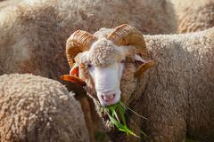Close up face of male merino sheep lamb in ranch farm eating ruzi grass Kuvituskuvat