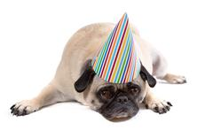 Pug dog depressed over birthday - stock photo
