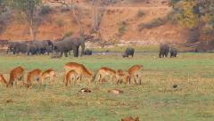 Endangered African Bush Elephants, Lechwe, & Buffalo feed on grass in Botswana. Stock Footage