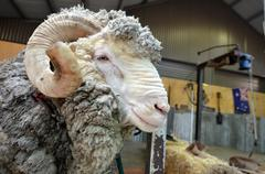 Male merino sheep Stock Photos
