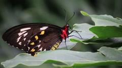 Birdwing Butterfly Stock Footage