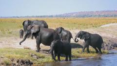 Endangered African Bush Elephants crossing water in Botswana. Stock Footage