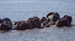 Endangered African Bush Elephants crossing water in Botswana. Stock Footage
