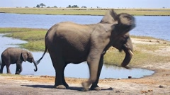 Endangered African Bush Elephants in Chobe River National Park, Botswana. - stock footage