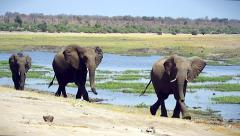 Endangered African Bush Elephants walk along Chobe River, Botswana, Africa. Stock Footage