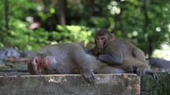 Macaque monkey in Rishikesh, India Stock Footage