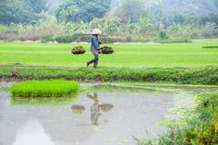 vietnamese farmer works at rice field. ninh binh, vietnam - stock photo