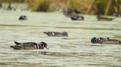 Wood Ducks (Aix sponsa) on a beaver pond in Georgia. Social and feeding behavior - stock footage