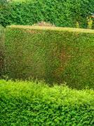 arborvitae as a privacy - stock photo