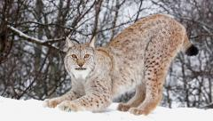 Lynx scratching front clows against snow strecthing its body Stock Footage