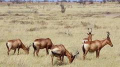 Hartebeest in the grass plains of Etosha National Park, Namibia, Africa. Stock Footage