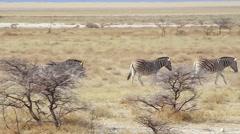 Endangered Hartmann's Mountain Zebra in Etosha National Park, Namibia, Africa. Stock Footage