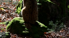 Lynx in autumn forest Stock Footage