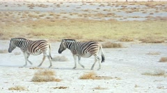 Endangered Hartmann's Mountain Zebra in Etosha National Park, Namibia, Africa. Stock Footage