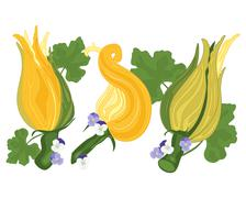 Courgette flower Stock Illustration