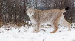 Lynx walking in forest side view turning and walking out of frame Stock Footage