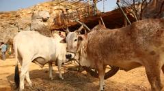 Closeup of ox eating grass Stock Footage