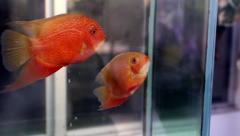 Gold fish in aquarium tropical fish - stock footage