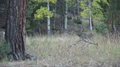Mule Deer Arkistovideo