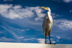An egret in clearwater beach, florida. Stock Photos