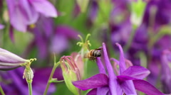 A bee collects nectar in the flowers Stock Footage