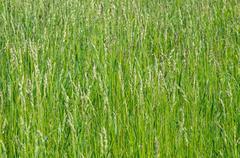 Sorghum weed Stock Photos
