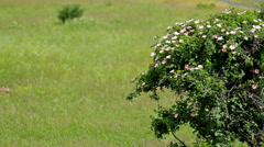 Dog rose bush in the wind Stock Footage
